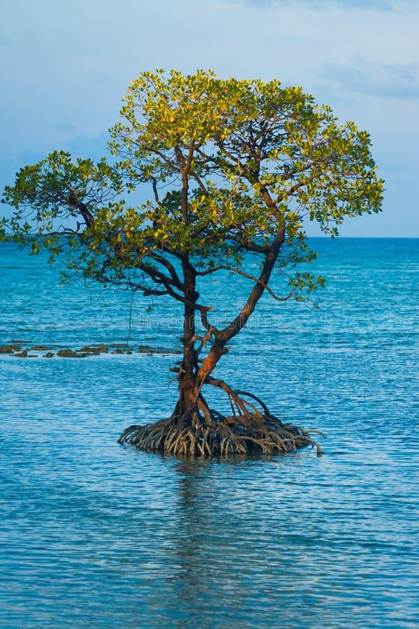 L'arbre solitaire centré de palétuvier enracine l'océan photo libre de droits