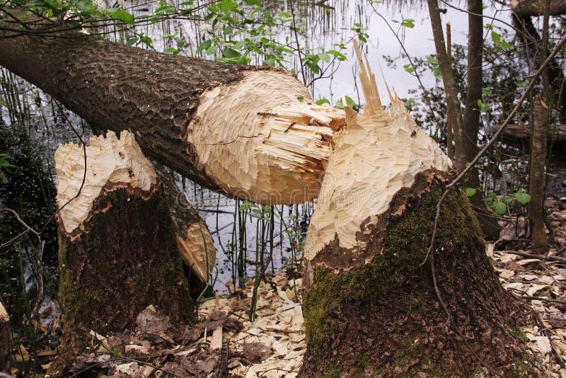 L'arbre tombé a grignoté des castors image libre de droits