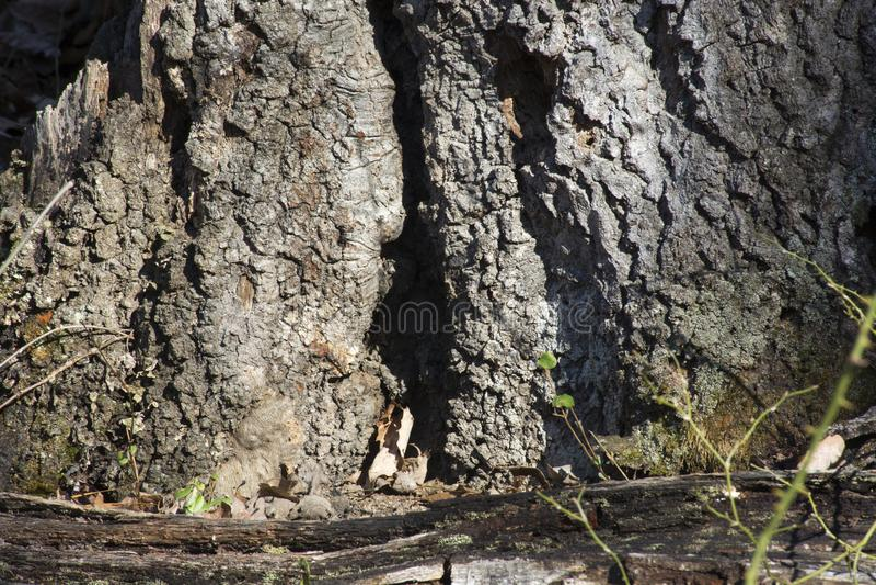 L'arbre tombé reste dans la forêt images libres de droits