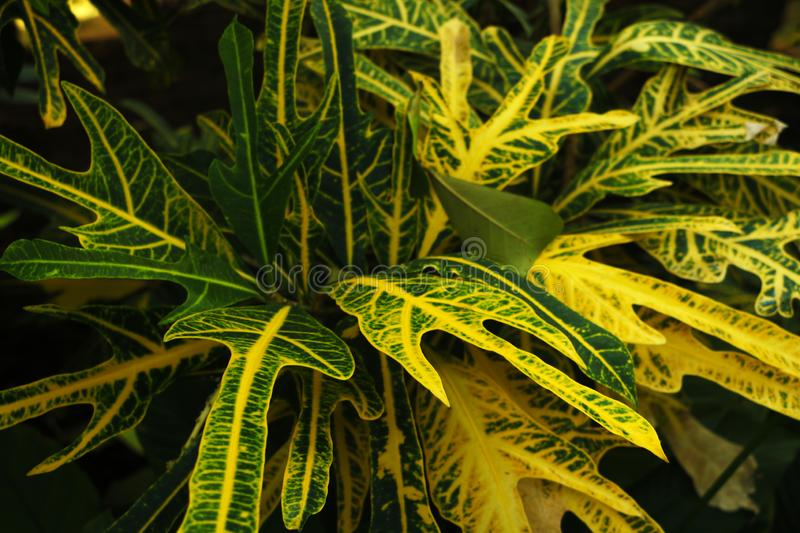 L'arbuste de Croton de variegatum de Codiaeum est une feuille simple disposée alternativement A un peu profond ou profond photos stock