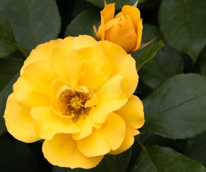 L'arbuste hybride d'or jaune de tequila rose et la fin haute de bourgeon au foyer sélectif avec le vert part à l'arrière-plan photo stock