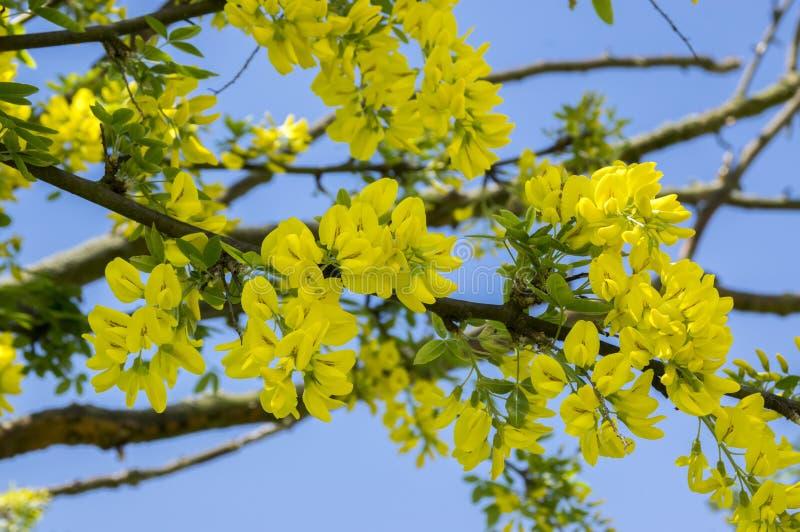 L'arbuste jaune ornemental d'anagyroides de cytise s'embranche en fleur contre le ciel bleu photo stock