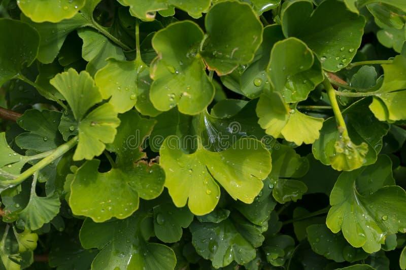 L'arbusto ha nominato Ginkgo, ginkgo biloba latino di nome fotografia stock libera da diritti