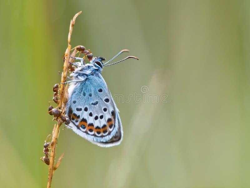 L'argento ha fissato la farfalla blu nella simbiosi con la formica rossa immagine stock libera da diritti