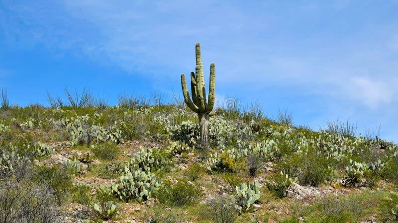 L'Arizona, d?sert de Sonoran : Saguaro sur la colline de figue de Barbarie photo libre de droits