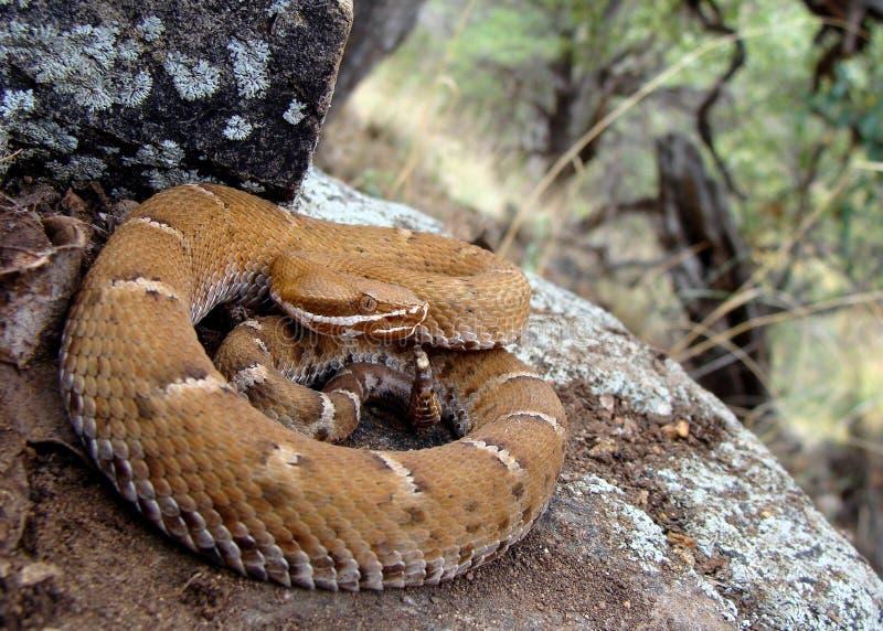 l'Arizona Ridge-a flairé le serpent à sonnettes photos stock