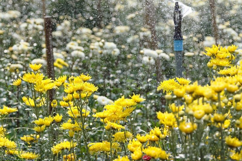 L'arroseuse arrosant dans le chrysanthème fleurit la ferme photo stock