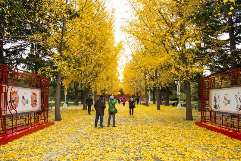 L'Asie Chine, Pékin, parc de Zhongshan, avenue de Ginkgo image libre de droits
