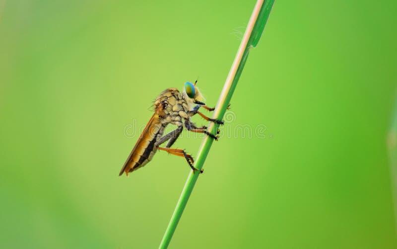 L'Asilidae sont la famille de mouche de voleur, ?galement appel?e l'assassin vole D?tail haut ?troit des mouches de voleur, mouch photographie stock libre de droits