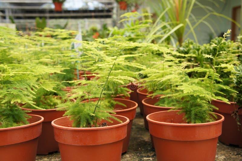 L'asparagus setaceus o la felce di asparago comune si sviluppa in piccoli recipienti di plastica immagini stock