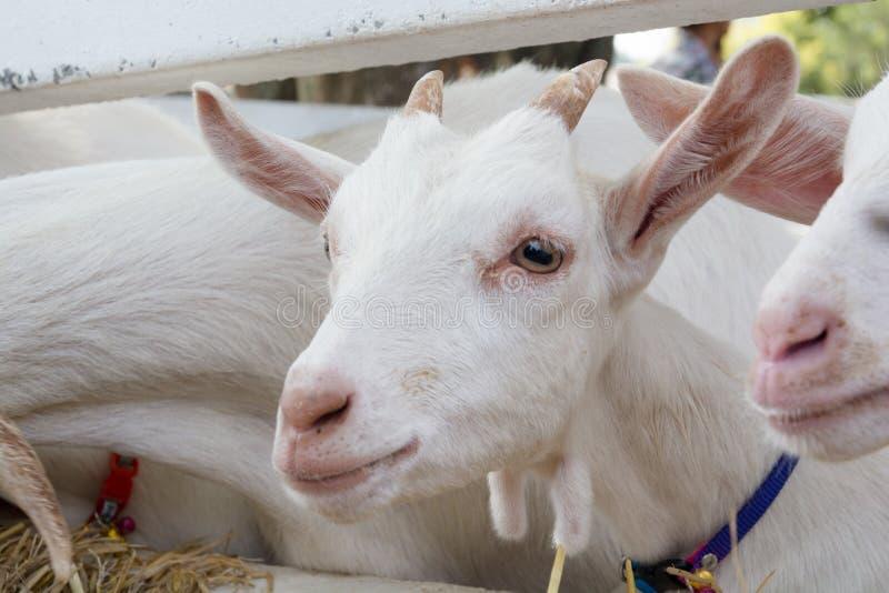 L'aspect d'une chèvre photographie stock