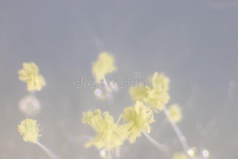 L'aspergillus oryzae è un fungo filamentoso, o muffa che è utilizzata nella produzione alimentare, quale in fermentazione della s immagine stock libera da diritti