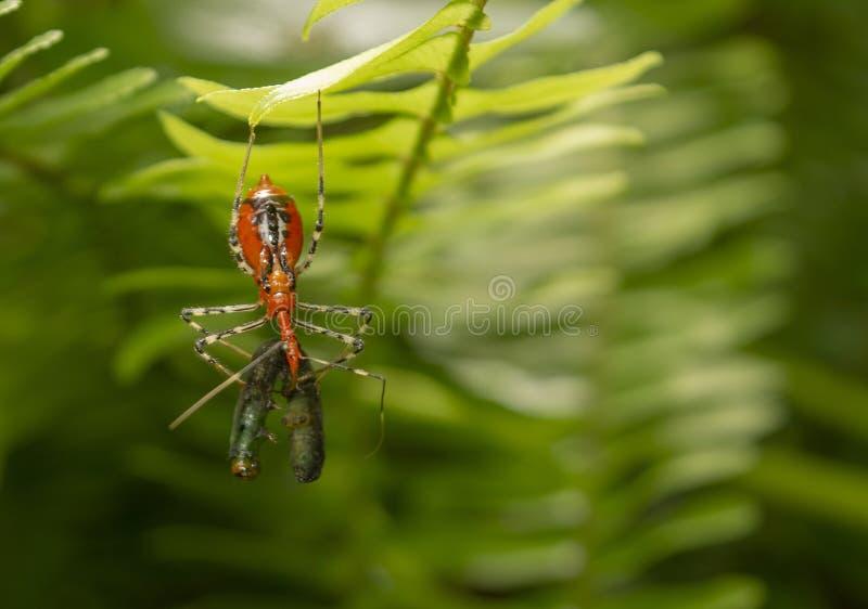 L'assassino Bug sta prendendo il verme fotografie stock libere da diritti