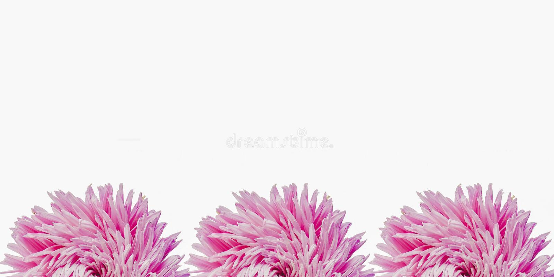 L'aster coloré fleurit formant un cadre sur un fond, concept minimal, la vue supérieure, l'espace de copie pour votre modèle des  photos stock