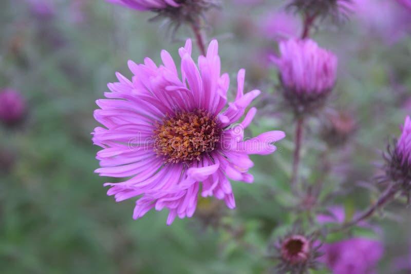 L'aster fiorisce il rosa - l'estate della fioritura degli aster da cadere fotografie stock libere da diritti