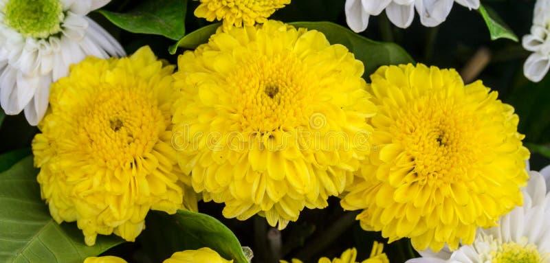L'aster jaune fleurit dans le jardin comme fond photographie stock libre de droits