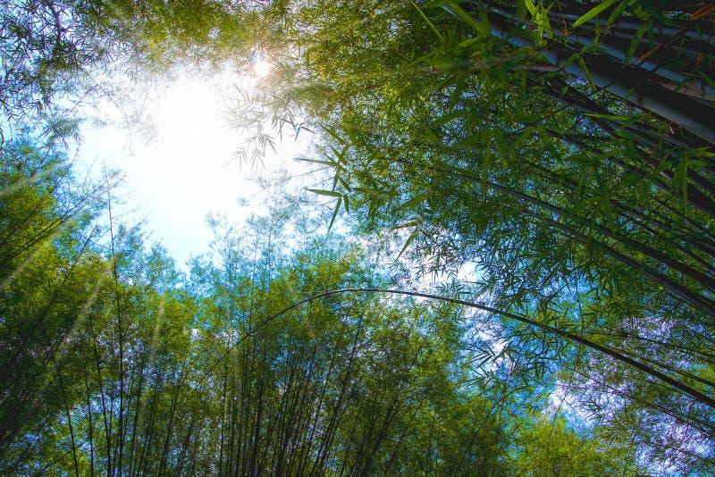 L'atmosphère d'été dans la forêt en bambou image stock