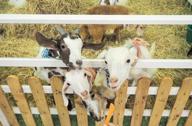 L'attente de chèvres mangent des carottes des mains humaines images libres de droits