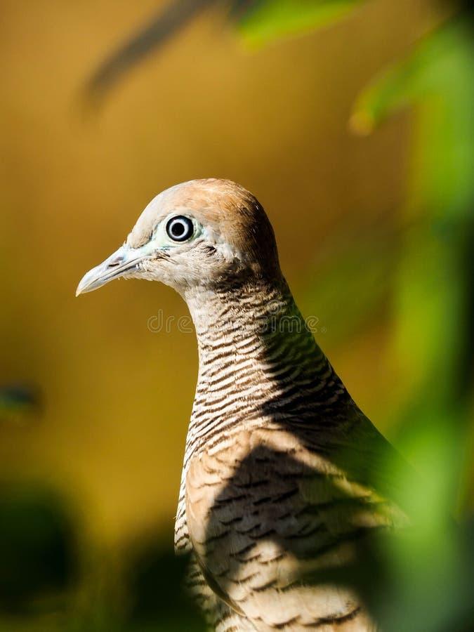 L'attente de la maman de colombe image libre de droits