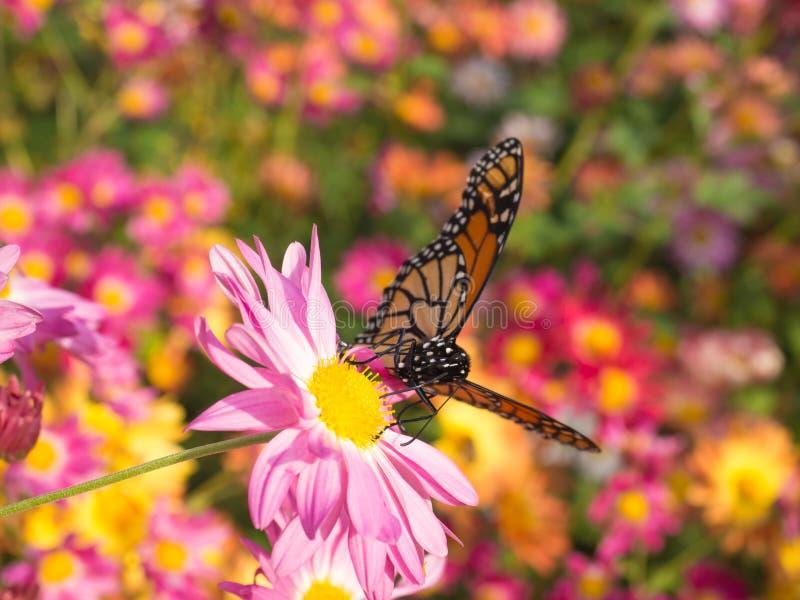 L'atterraggio della farfalla sulle mummie rosa fiorisce nel giardino fotografia stock libera da diritti