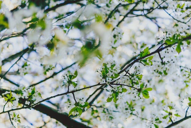 L'aubépine blanche fleurit sur des branches d'arbre en parc de ville photo libre de droits