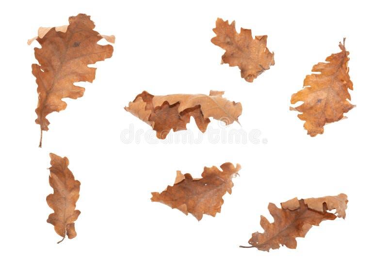 L'aulne a séché des feuilles d'isolement sur le fond blanc photos libres de droits