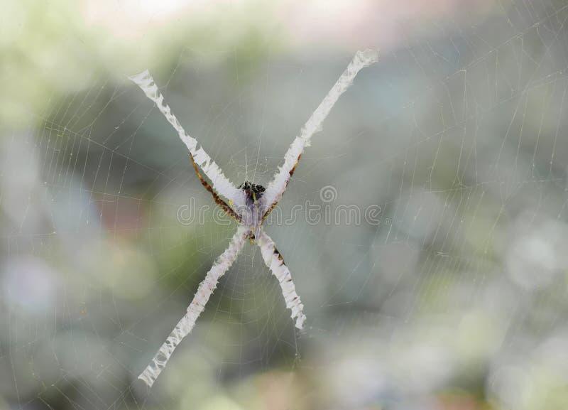 L'aurantia d'Argiope d'espèces d'araignée est généralement connu comme yel photographie stock