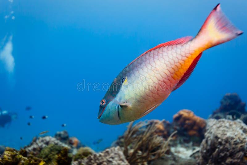 L'aurofrenatum rouge de Sparisoma de scare nage sur le récif coralien photos libres de droits