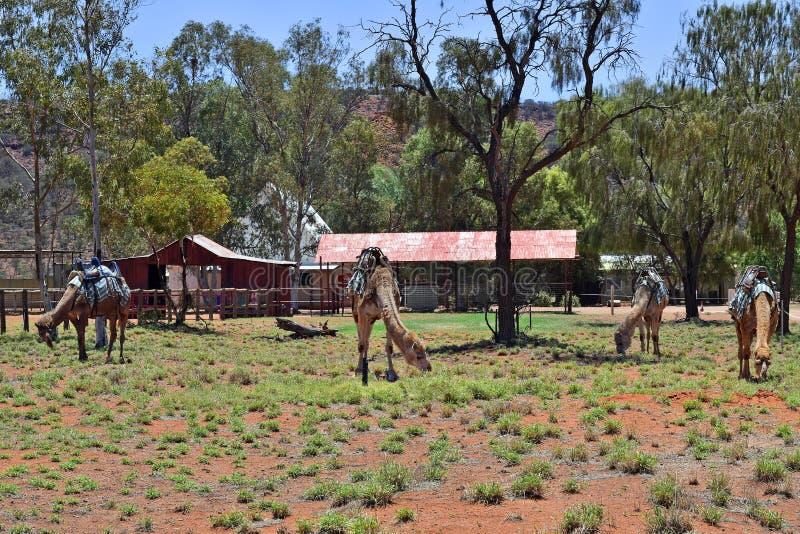 L'Australia, NT, azienda agricola del cammello immagine stock libera da diritti