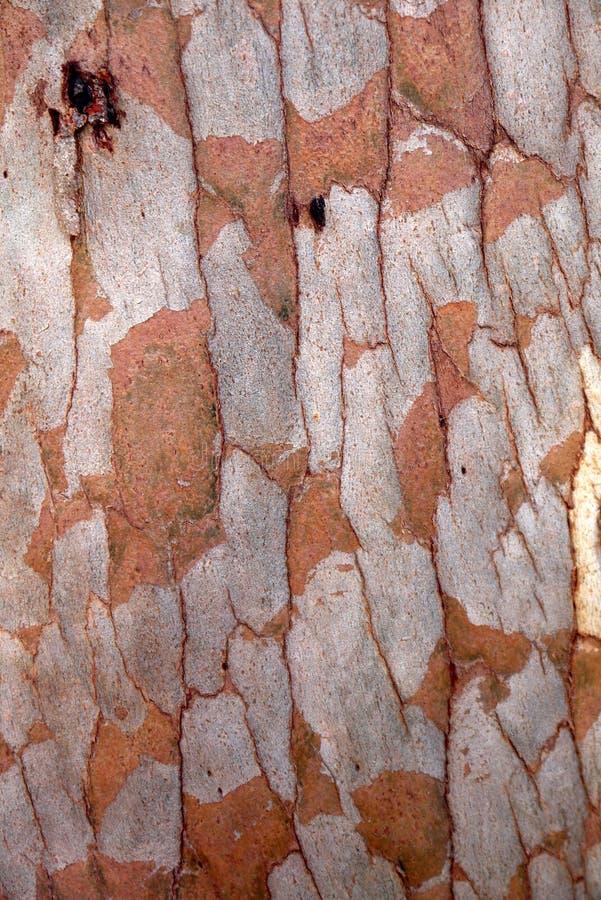 L'Australia: struttura della corteccia di albero dell'eucalyptus immagini stock