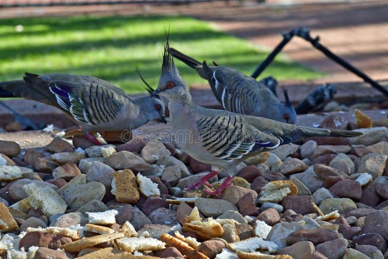 L'Australie, zoologie, pigeon crêté photos stock