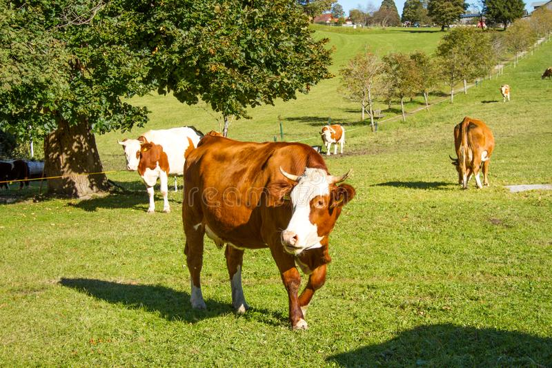 l'austria Le mucche da latte pascono in un prato alpino circondato dalle alpi immagine stock libera da diritti