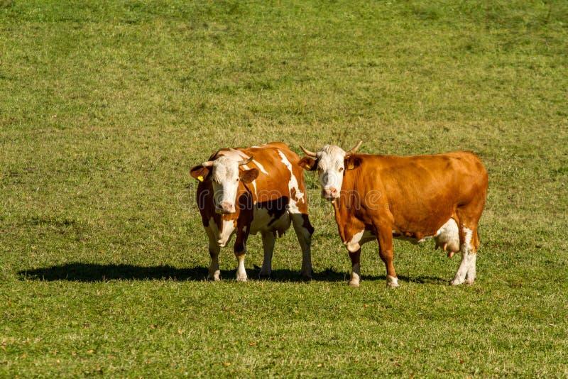 l'austria Le mucche da latte pascono in un prato alpino circondato dalle alpi fotografie stock