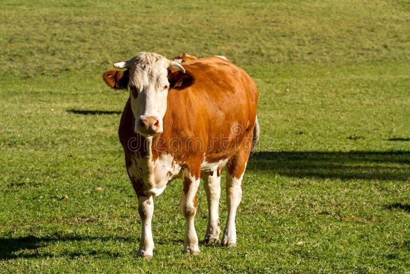 l'austria Le mucche da latte pascono in un prato alpino circondato dalle alpi fotografia stock