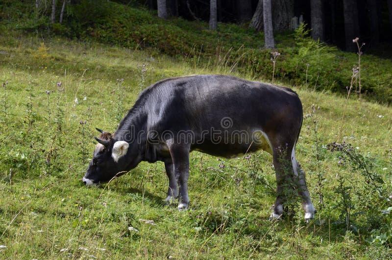 L'Austria, Tirolo, bestiame immagine stock