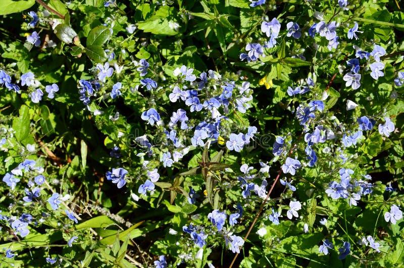 L'Austria, Tirolo, botanica immagini stock