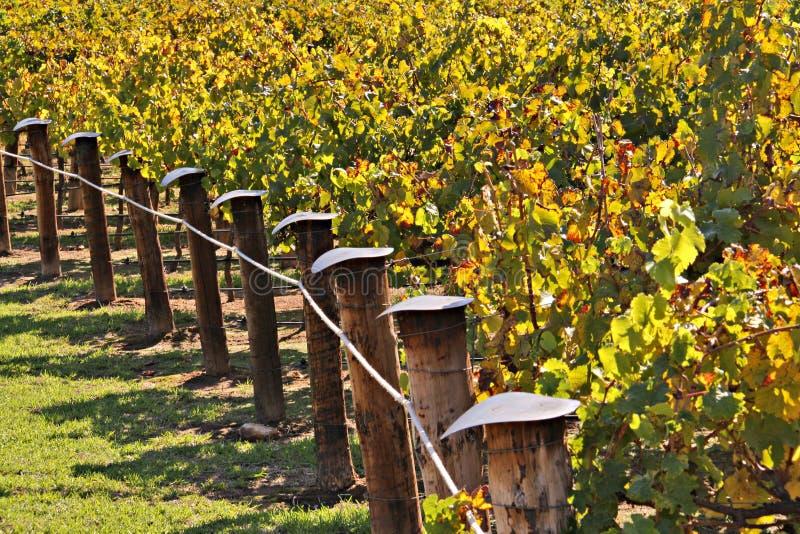 l'automne colore l'établissement vinicole de vignes de lignes de raisin photo stock