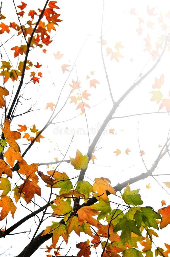 l'automne de fond laisse l'érable images libres de droits