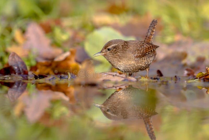 L'automne eurasien de roitelet de réflexion de l'eau a coloré des feuilles images stock