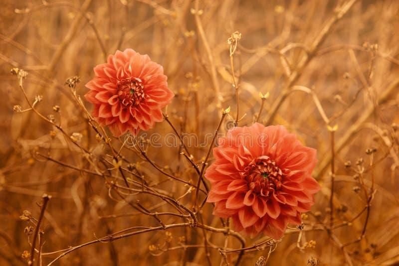 L'automne orange du dahlia deux fleurit au-dessus du fond de branchements de brun images stock