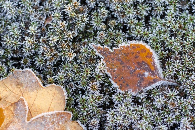 L'automne tombé part en gelée Brown, fond vert d'automne Frost sur l'herbe et les feuilles Couverture de forêt d'automne congel? images stock