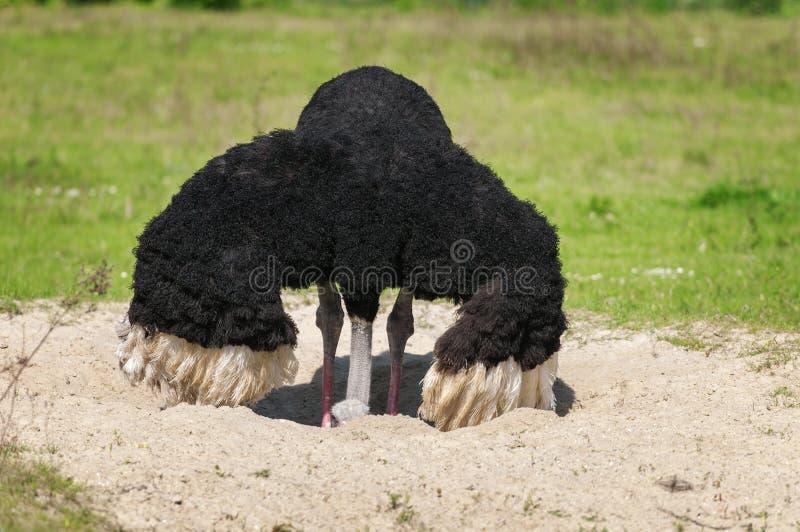 L'autruche d'oiseau pousse sa tête dans le sable photographie stock