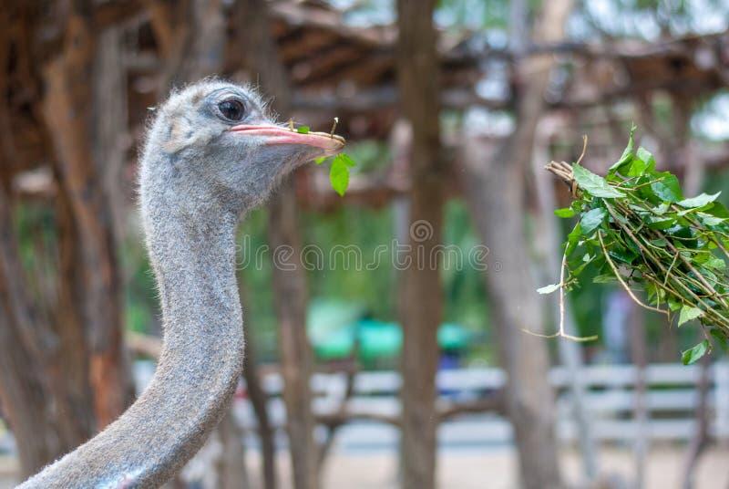 L'autruche plie son cou pour picoter les feuilles vertes comme alimentant, ses yeux regarde fixement le touriste photos stock