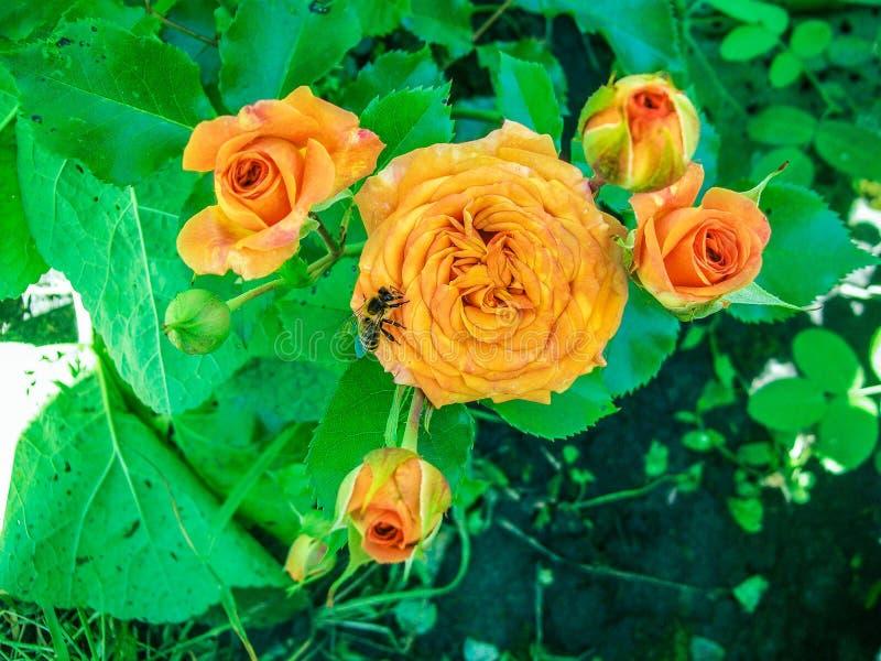 L'autunno, arancia è aumentato, fa il giardinaggio, ape, ape mellifica immagini stock libere da diritti