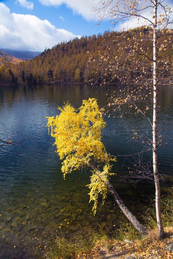 L'autunno, betulla con giallo rimane un lago immagine stock