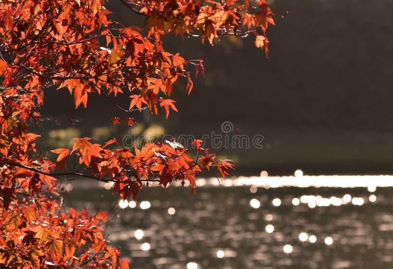 L'autunno/caduta lascia - l'albero acero giapponese/di Acer fotografia stock
