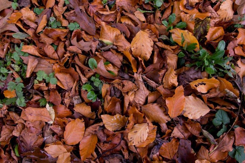 L'autunno caduto lascia in un terreno boscoso inglese, Cotswolds, Inghilterra fotografia stock libera da diritti
