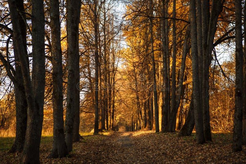L'autunno dorato, alberi gialli al sole, va sotto i piedi immagine stock libera da diritti