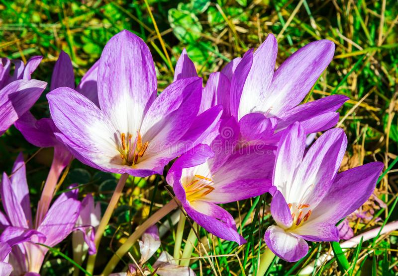 L'autunno fiorisce il Colchicum immagine stock