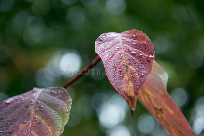 l'autunno frondeggia colore rosso immagini stock libere da diritti